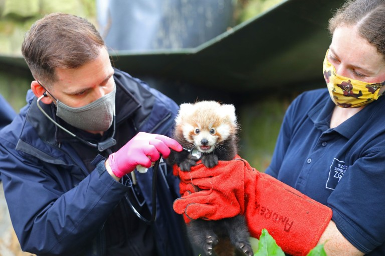 Undated handout photo of endangered red panda kit Ruby receiving her first health check. Ruby was born in July at the Royal Zoological Society of Scotland's (RZSS) Edinburgh Zoo. Issue date: Saturday September 18, 2021. PA Photo. Ruby will stay inside her den until she is around four months old when she will start to explore outside, however her parents, Bruce and Ginger, can still be seen outside during the day. See PA story ANIMALS Panda. Photo credit should read: RZSS/PA Wire NOTE TO EDITORS: This handout photo may only be used in for editorial reporting purposes for the contemporaneous illustration of events, things or the people in the image or facts mentioned in the caption. Reuse of the picture may require further permission from the copyright holder.
