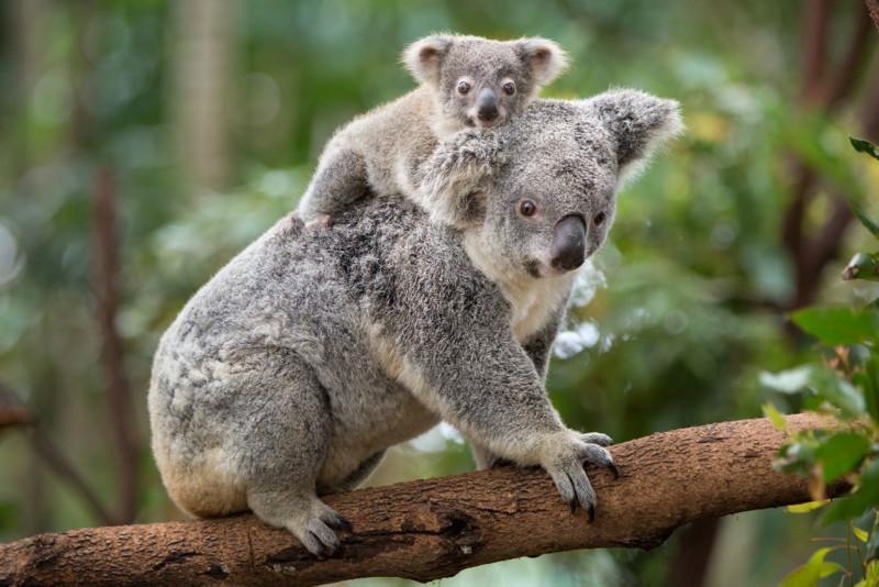 Koala Phascolarctos cinereus Eight-month-old baby on mother's back Queensland, Australia *Captive