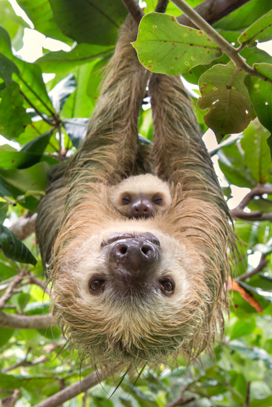 Hoffmann's Two-toed Sloth Choloepus hoffmanni Mother and two-month-old baby Aviarios Sloth Sanctuary, Costa Rica *Rescued and released by Sloth Sanctuary