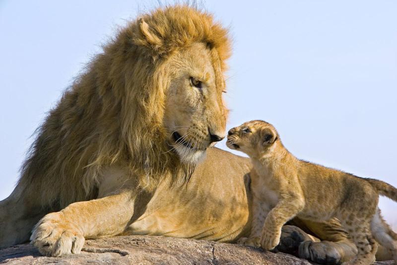 Lion Panthera leo 7-8 week old cub(s) approaching adult male Masai Mara Reserve, Kenya