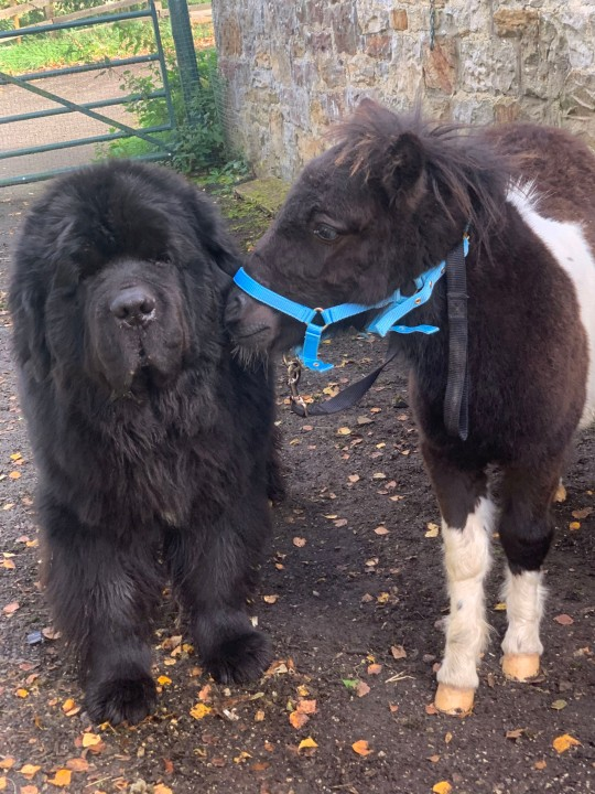 a tiny horse and a huge dog who are best friends