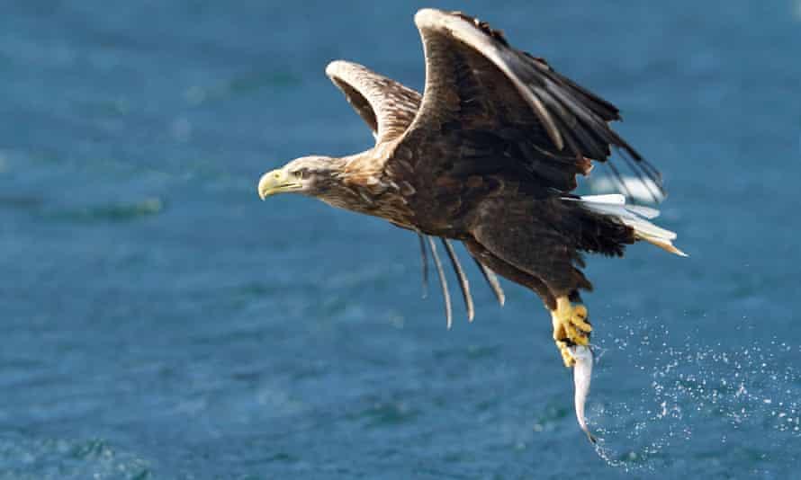 Sea eagle catching fish