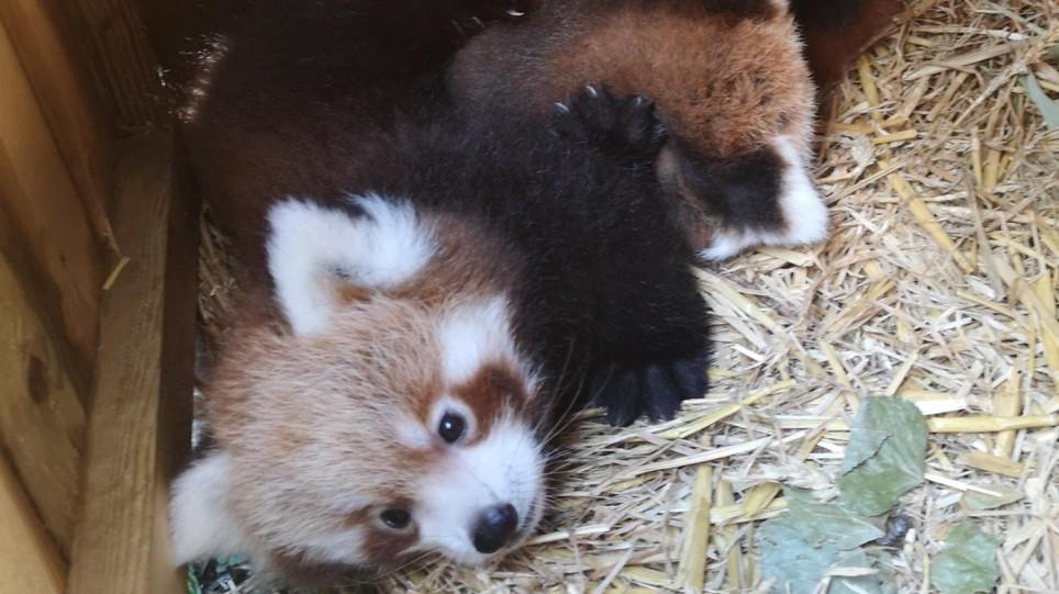 two pandas blackpool zoo