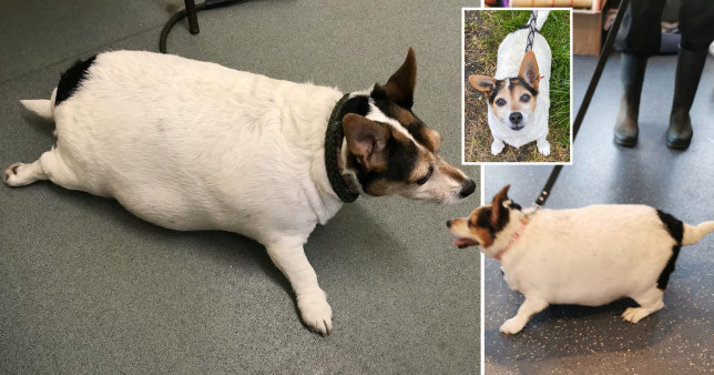 pictures of lily the dog who was so fat she looked like a 'balloon on legs'