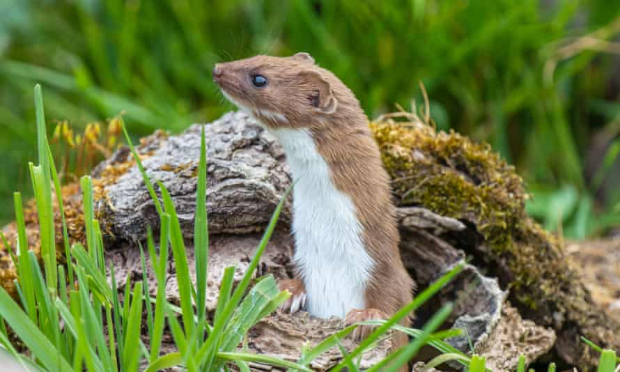 Weasels are among a host of species now being seen more frequently.