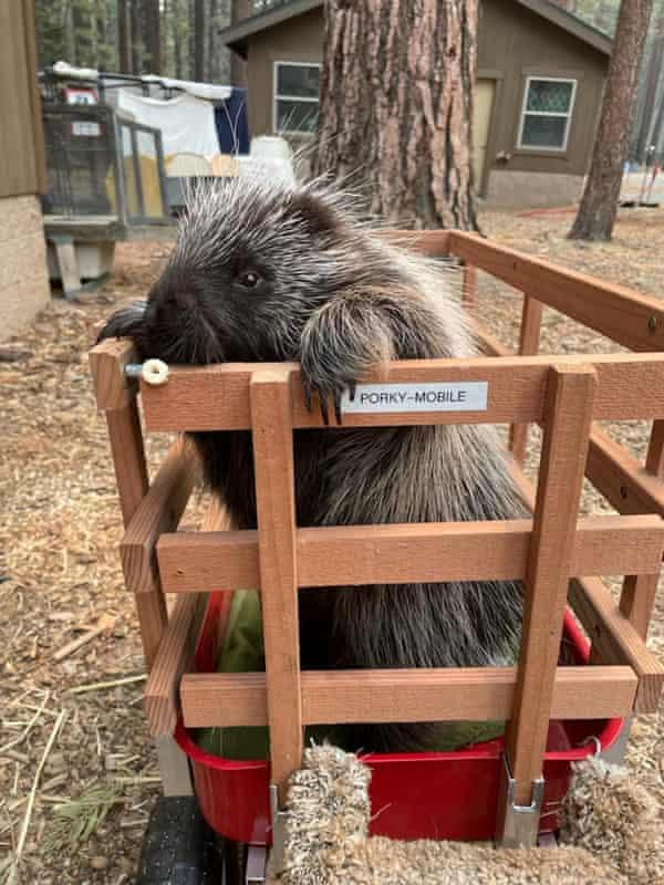 Porky the porcupine.