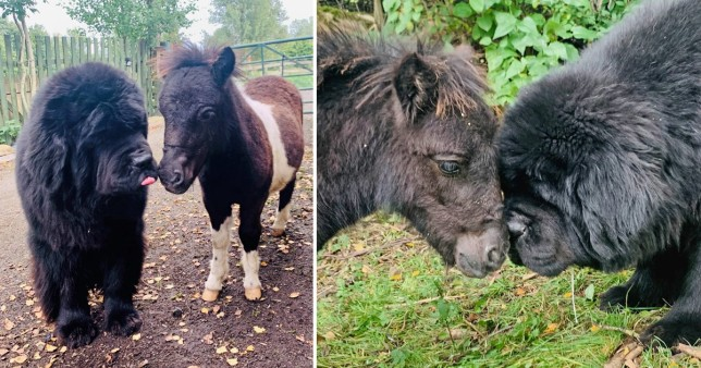 pictures of a tiny horse and a huge dog who are best friends
