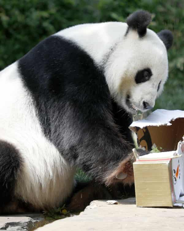 Wang Wang opens his Christmas gifts at Adelaide Zoo in 2019