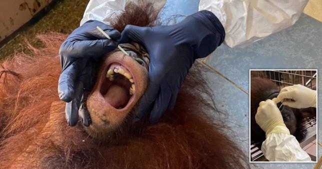 SWABBED- testing orangutans for COVID in Malaysia