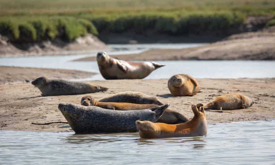 Seals slumber on sandbanks.