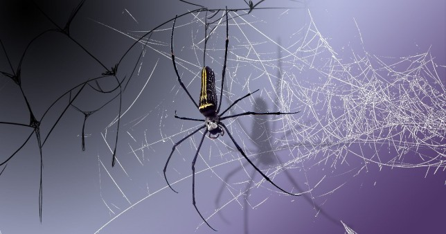 a creepy black and yellow spider on a web with a purple and black background