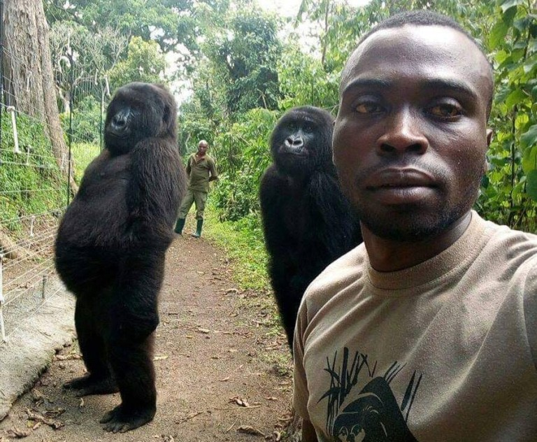 Anti-poaching ranger's extraordinary selfies with two gorillas that look almost HUMAN in Congo national park Virunga, in the Democratic Republic of Congo, has 600 dedicated rangers Gorillas Pose For Selfie With Anti Poaching Rangers