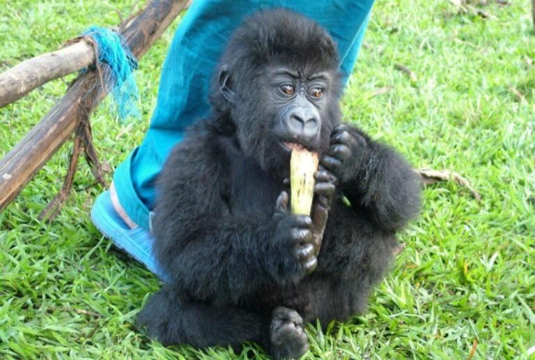Ndakasi as an infant. Ndakasi, a mountain gorilla in the Virunga National Park's Senkwekwe Center, died in the arms of the ranger who rescued her as an infant.