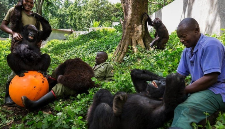Rangers sitting with mountain gorillas. Ndakasi, a mountain gorilla in the Virunga National Park's Senkwekwe Center, died in the arms of the ranger who rescued her as an infant.