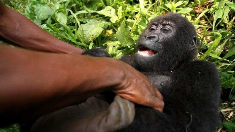 Ndakasi getting tickled. Ndakasi, a mountain gorilla in the Virunga National Park's Senkwekwe Center, died in the arms of the ranger who rescued her as an infant.