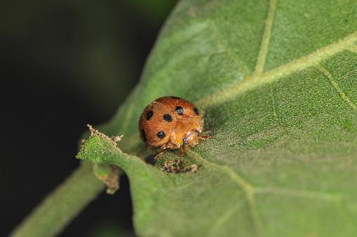 Brown lady bug sitting on leaf