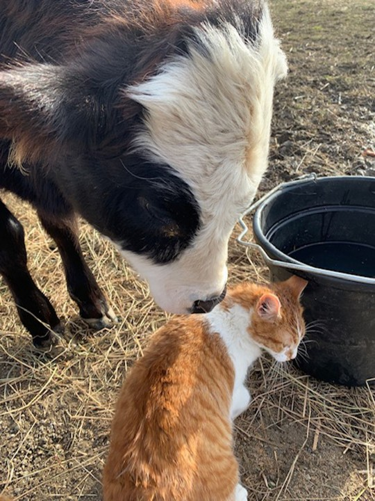 Hershey the Cow with Rhys the Cat)