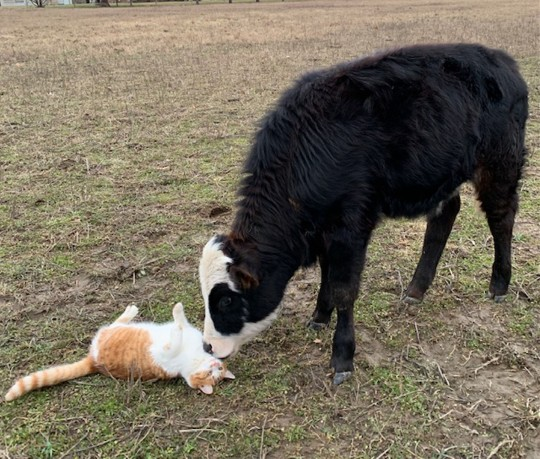 Rhys the cat rolling in the field with best friend Hershey the Cow