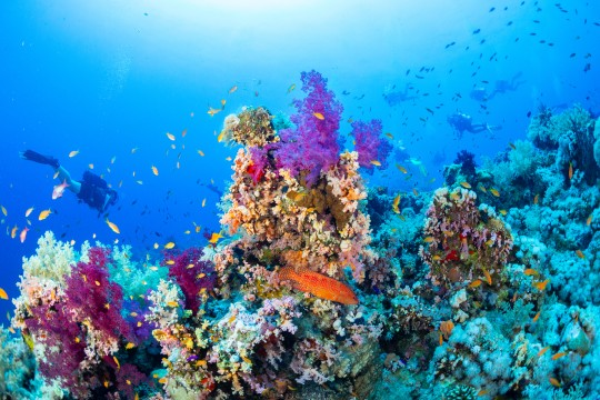 Divers enjoying colorful hard and soft coral reefs with coral grouper in forground.