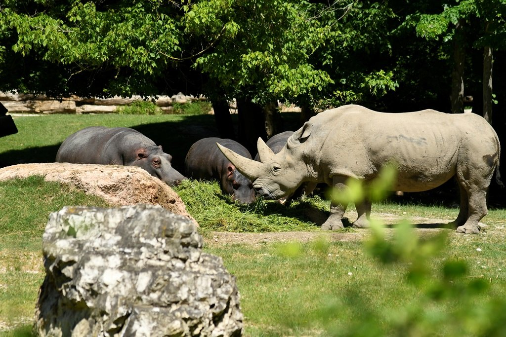 Toby, the world's oldest white rhino