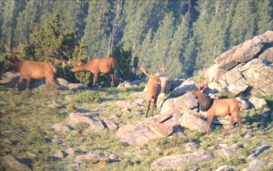 Wildlife officers remove tire that was around a bull elk?s neck for over two years