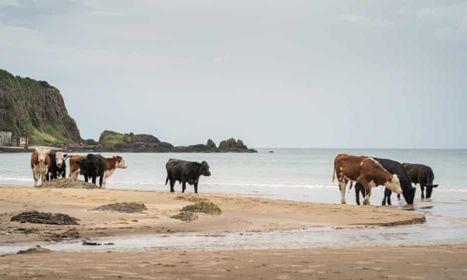 Cattle on the beach at White Park Bay.