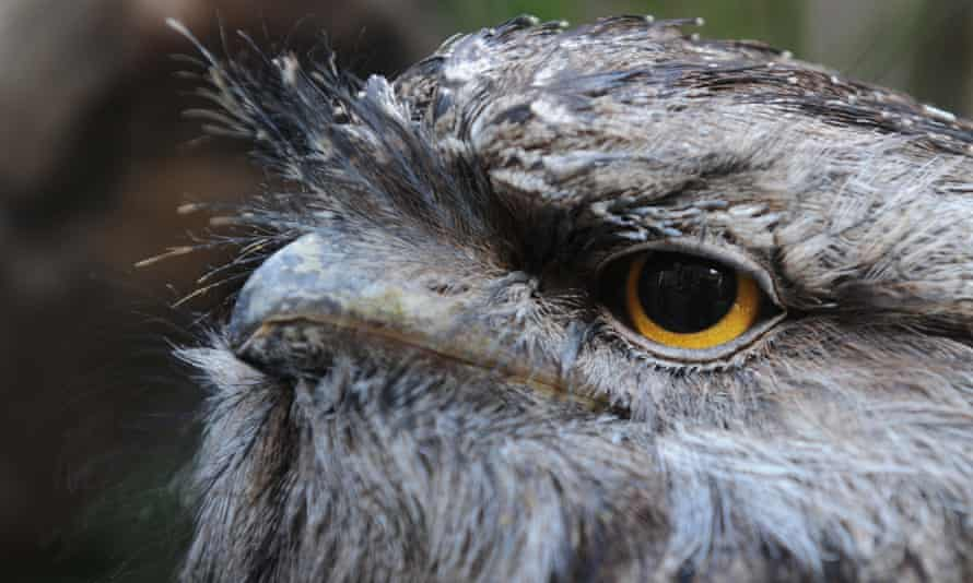 A close-up of a tawny frogmouth, with its yellow-ringed eye