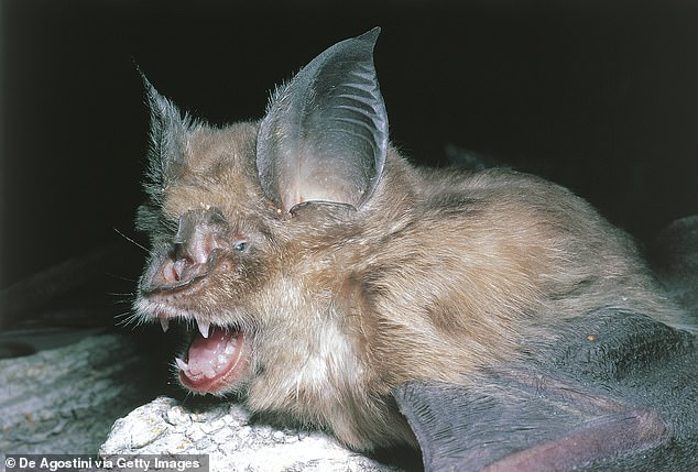 Horseshoe bats are known carriers of the viruses and scientists believe they may be the culprit for the pandemic