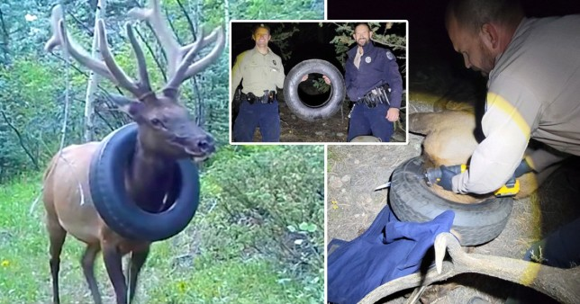 Elk roamed hills with tyre stuck around its neck for two years