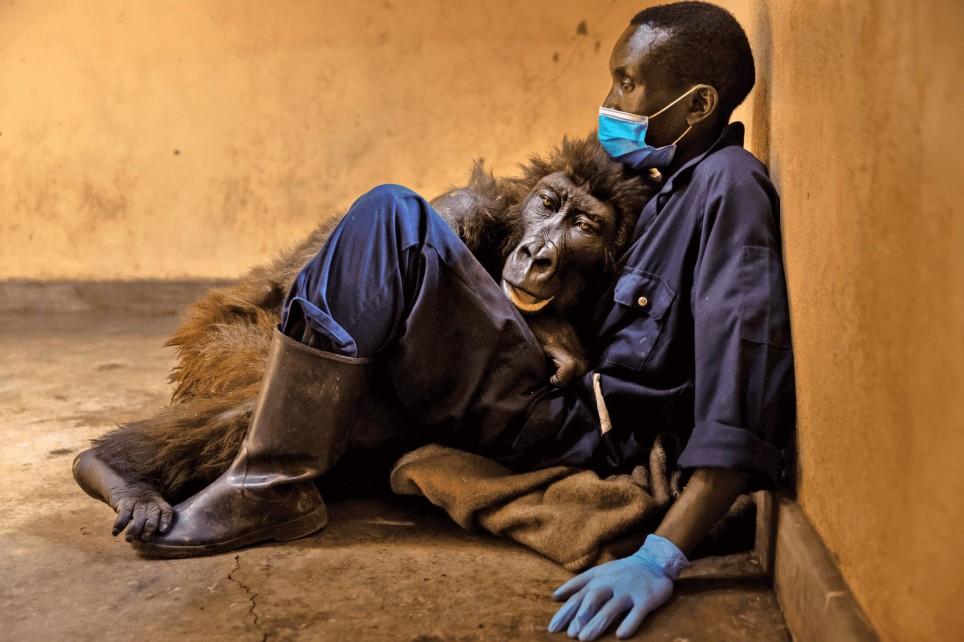 Ndakasi lying on Andre Bauma. Ndakasi, a mountain gorilla in the Virunga National Park's Senkwekwe Center, died in the arms of the ranger who rescued her as an infant.