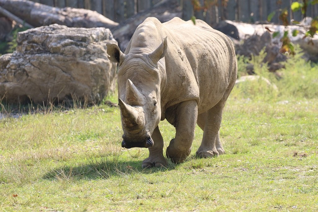 Toby, the world's oldest white rhino, in its enclosure at the 'Parco Natura Viva' zoo in Bussolengo, near Verona, in northern Italy, on 30 September 2016.