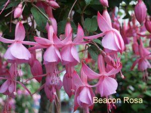 Afbeelding met plant, bloem, roze, tafel Automatisch gegenereerde beschrijving