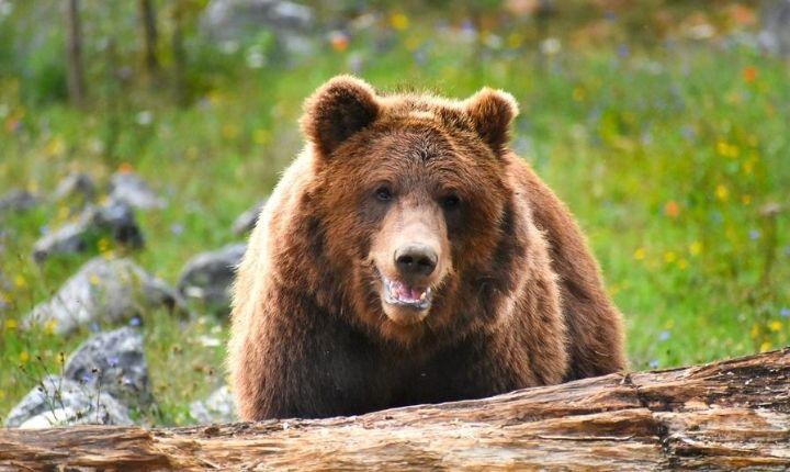 björnvandring