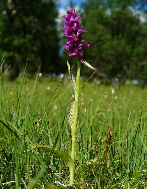 Lappmarihand - Dactylorhiza lapponica - Norske Orkideer