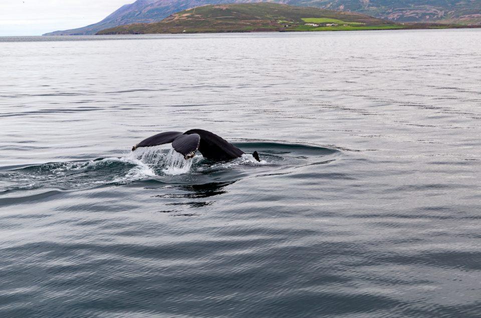 Fra Akureyri på hvalsafari. Hvalgaranti hele året. North Travel.