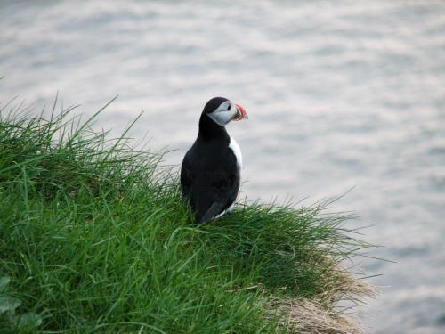 Søpapegøjer findes mange steder på Færøerne.