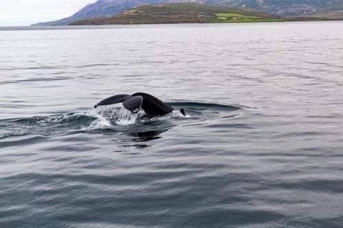 Pukkelhval i smukke omgivelser i Eyjaförður Island