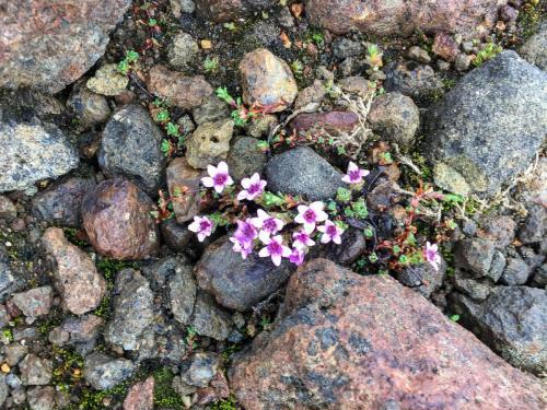 Blomster i Kerlingafjöll