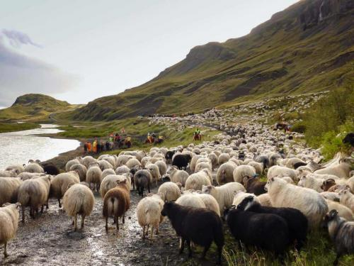 Fåresamling i Island