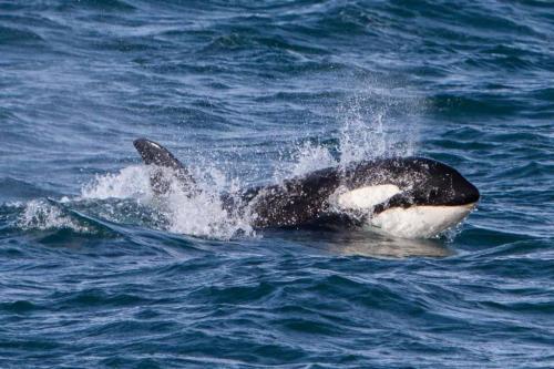 Spækhugger hvalsafari i Island