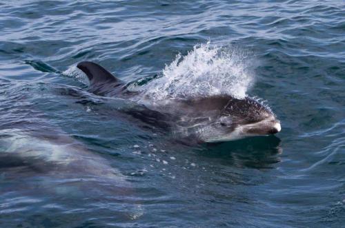 Delfiner er legesyge. Hvalsafari i Island