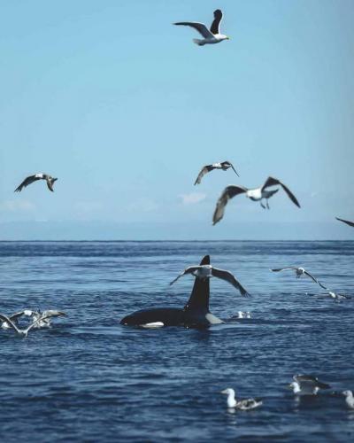 Spækhugger hvalsafari fra Ólafsvík