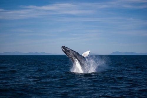 Pukkelhval på hvalsafari med Special Tours