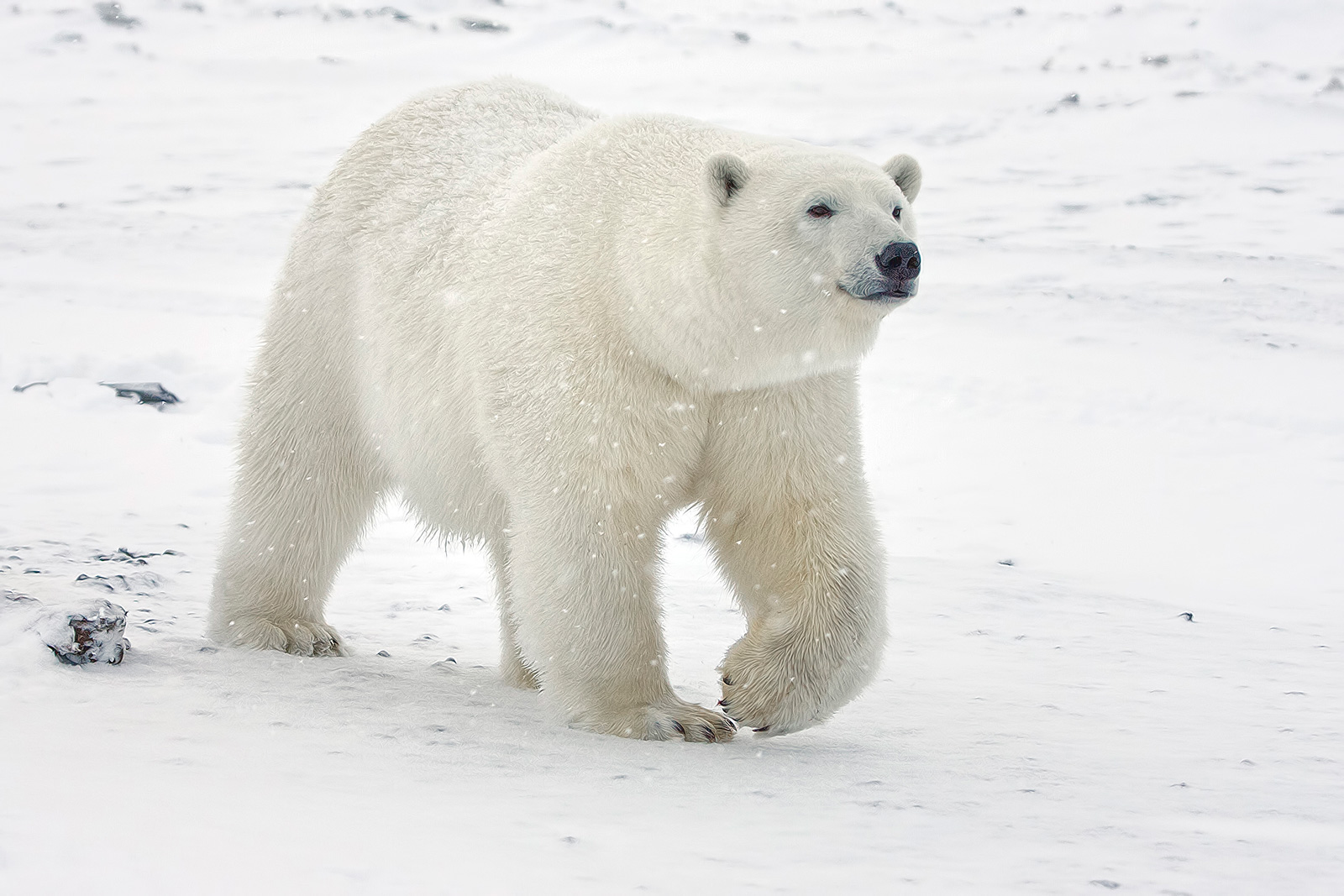 polar_bear_std