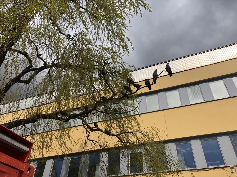 Duvor på en gren ovanför parkbänken.