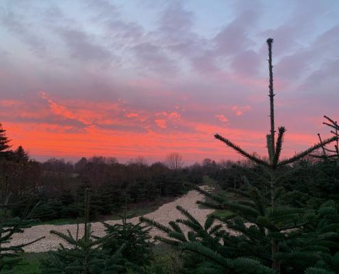 solnedgang over juletræsplantagen.jpg