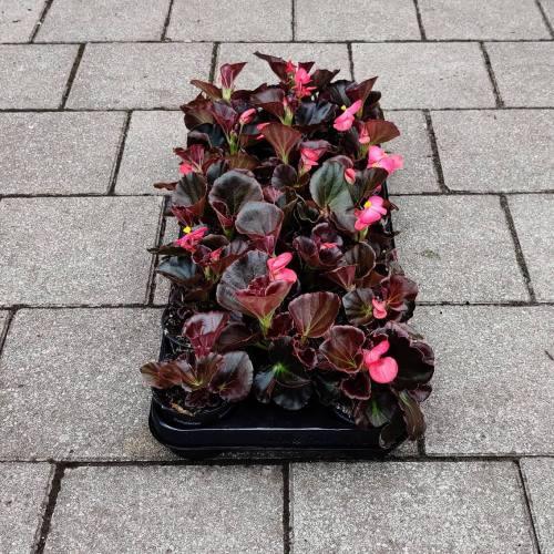 Begonia - Donker | Roos