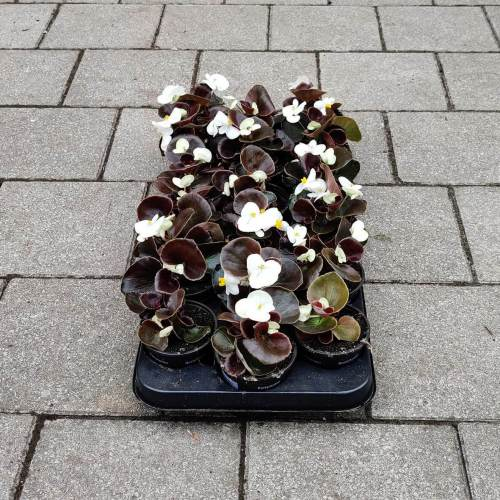 Begonia - Donker | Wit