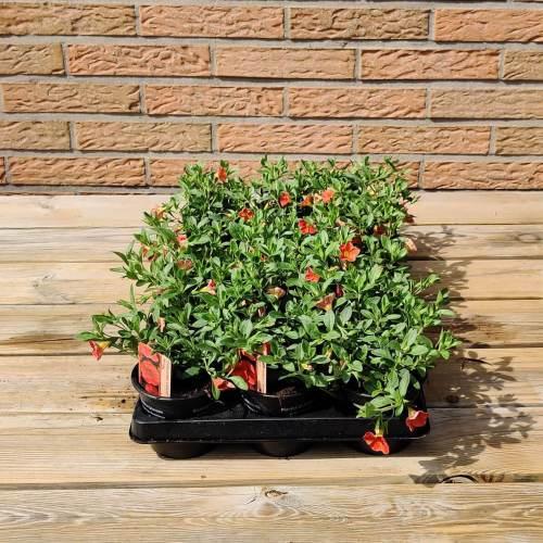 Calibrachoa | Oranje
