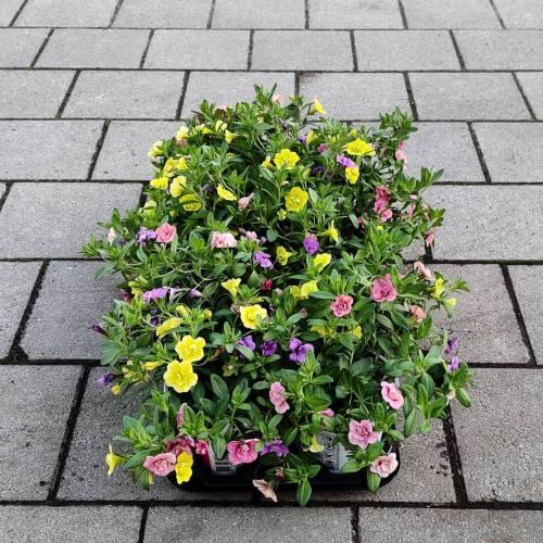 Calibrachoa | Trixi - Geel, roos & paars
